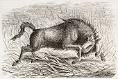 Wildebeest old illustration (Connochaetes gnou), also called Gnu. Created by Gerusez, published on L
