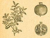 Pomegranate - blooming twig and fruit - old illustration by unknown artist from Botanika Szkolna na Klasy Nizsze, author Jozef Rostafinski, published by W.L. Anczyc, Krakow and Warsaw, 1911