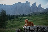 Dog In The Mountains On A Journey. Nova Scotia Duck Tolling Retriever In Nature On The Background Of poster