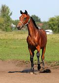 Thoroughbred horse portrait