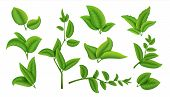 Realistic Tea Leaves And Branches. Green Plants And Herbs Isolated On White, Natural Tea Leaf Collec poster