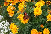 Orange Flowers And Butterfly
