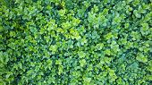 Natural Background. Buxus, Box Or Boxwood With Evergreen Leaves poster