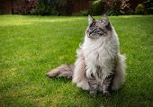 Happy Smiling Pedigree Ragdoll Cat Sitting Outdoors On A Grass Lawn Portrait. poster