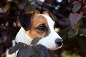 Fun And Active Pedigree Dog Jack Russell Terrier In The Foliage On A Sunny Summer Day. Portrait Of A poster