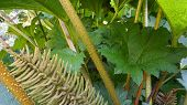 Showy And Bright Brazilian Giant-rhubarb Leaves And Inflorescence Forms A Spike Flowers Close Up. Kn poster