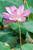 lotus flower living fossil (close up)