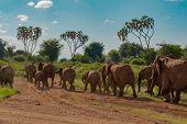 Herd Elephants In The Savannah Of Samburu Park In Central Kenya poster