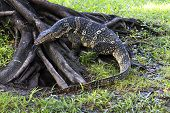 The Water Monitor Or Varanus Salvator Is A Large Species Of Monitor Lizard. Showing Its Split Tongue poster
