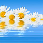 Daisies And Reflection