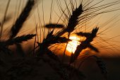 Beautiful Agriculture Sunset Landscape. Ears Of Golden Wheat Close Up. Rural Scene Under Sunlight. S poster