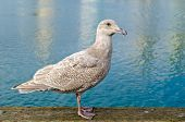 Sea gull gracefully poses for a photo in downtown of Vancouver, Canada.