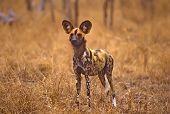Africa-Wild Dog