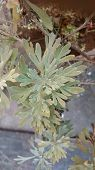 Artemisia Absinthium poster