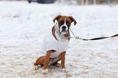 A Big Bulldog Obediently Performs In Winter Training poster