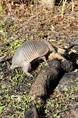 Armadillo With Log