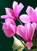 pink cyclamens