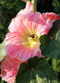 pink mallow flowers