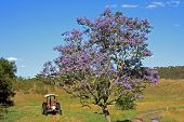 Lonesome Jacaranda Tree