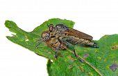 Raptorial Fly (asilidae)