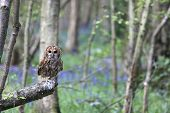 Tawny Owl In Forest