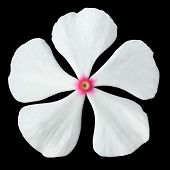 White Periwinkle Flower With Pink Center Isolated