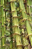 Zalacca Fruit Tree Stalk Day