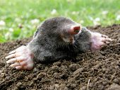 picture of mole  - laughing mole crawling out of molehill in summer - JPG