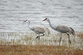 picture of klamath  - Sandhill Crane Grus canadensis summering at Malheur Lake area Burns  - JPG