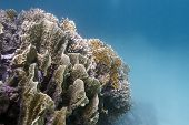 picture of fire coral  - coral reef with great fire coral at the bottom of tropical sea  - JPG
