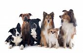 picture of collier  - portrait of a purebred dogs in front of white background - JPG