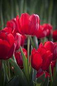 rote Tulpe Blume im Garten