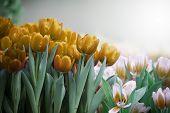 gelb golden Tulip Blumen im Garten