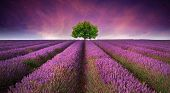 foto of crop  - Beautiful image of lavender field Summer sunset landscape with single tree on horizon contrasting colors - JPG
