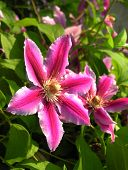 purple,pretty flowers of clematis creeper plant