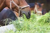 stock photo of horses eating  - close up horse eating hay - JPG