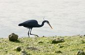 A black heron catching sea insect