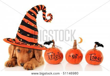 Cute puppy wearing a Halloween witch hat.  poster