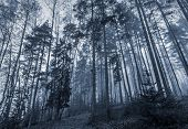stock photo of early morning  - Early morning in a dark forest with fog and tall trees - JPG
