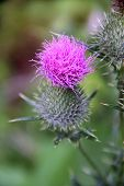 Plumeless thistle blossom close-up