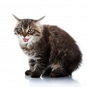 Striped Fluffy Angry Cat