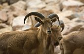 image of north sudan  - A barbary sheep standing on a rock Ammotragus lervia - JPG