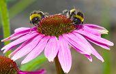 Two bees on a pink and orange echinacea (cone) flower.