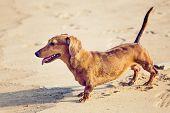 Dachshund Dog in beach
