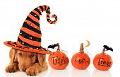 foto of golden retriever puppy  - Cute puppy wearing a Halloween witch hat - JPG