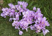 Постер, плакат: beautiful autumn Crocus