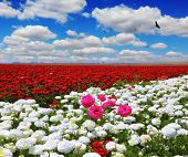 White garden buttercups are combined with bright red and pink flowers ranunculus. Cumulus clouds float across the sky. Boundless rural field with flowers