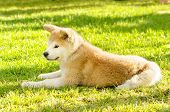 stock photo of akita-inu  - A profile view of a young beautiful white and red Akita Inu puppy dog sitting on the grass - JPG