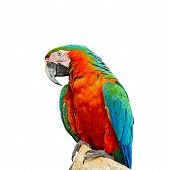 stock photo of harlequin  - Colorful Harlequin Macaw aviary breast profile isolated on a white background - JPG