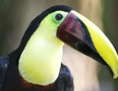 chestnut mandibled toucan close up, costa rica